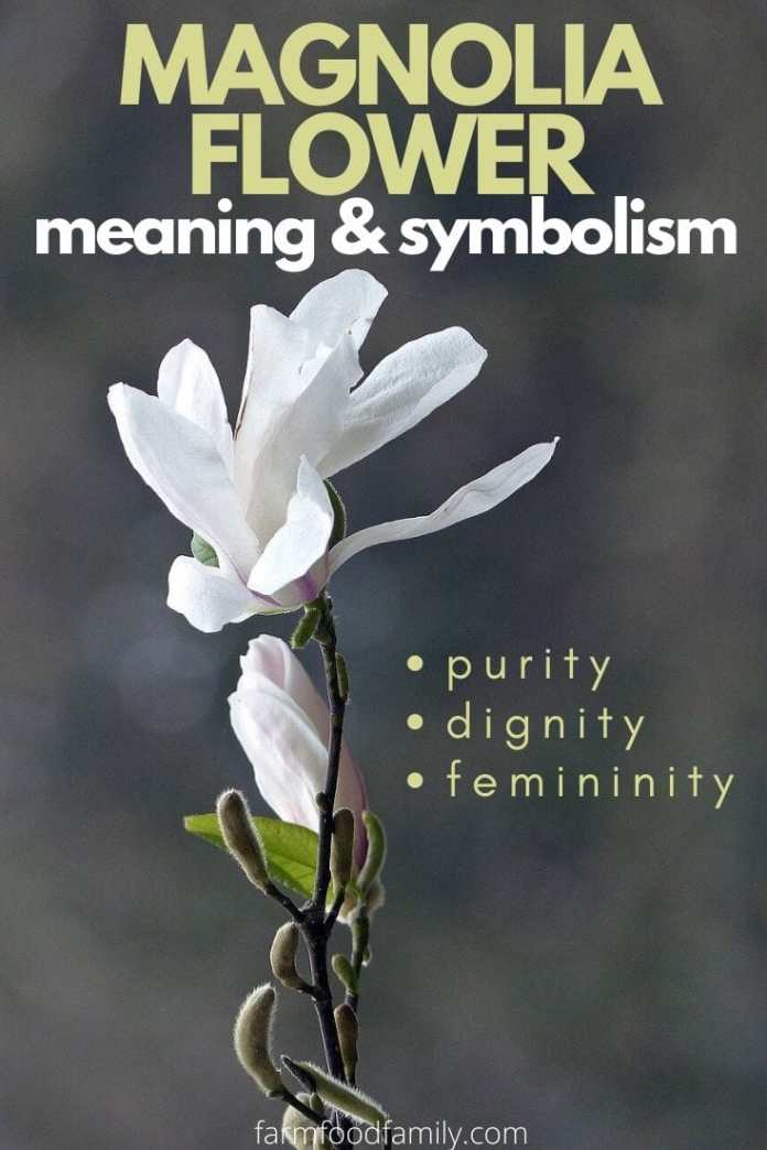 Meaning and symbolism of Magnolia flower