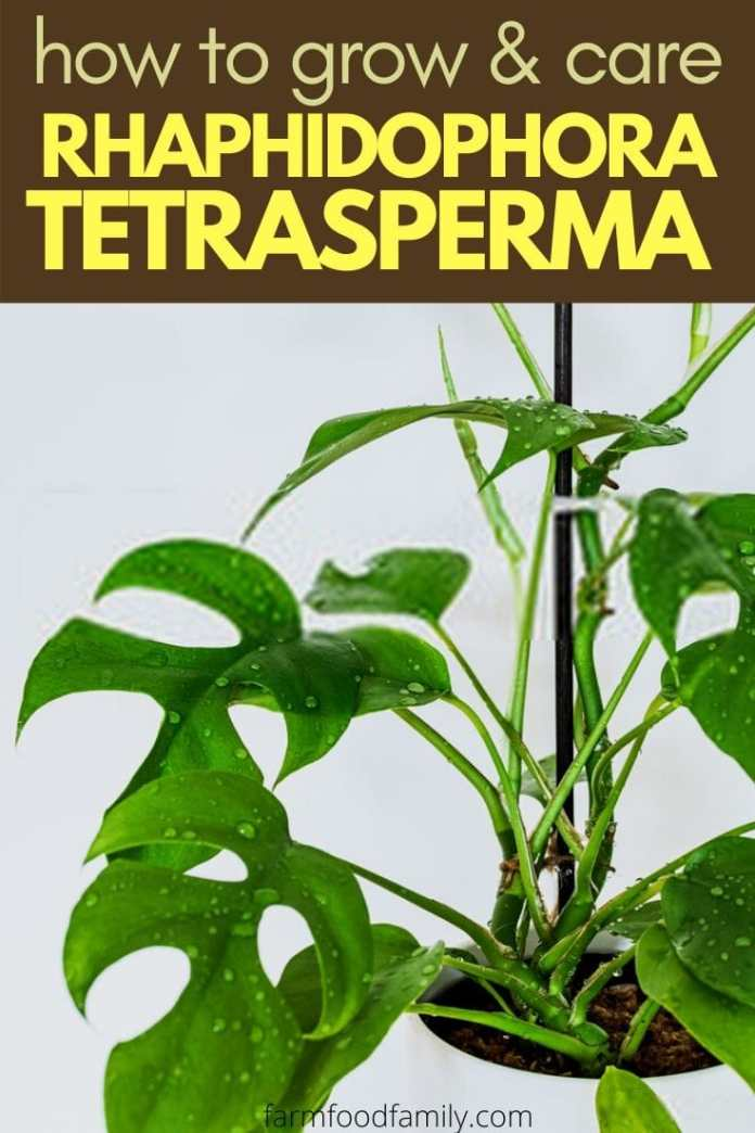 Rhaphidophora Tetrasperma: Facts, Growing, Care, Problems, Pests, Diseases