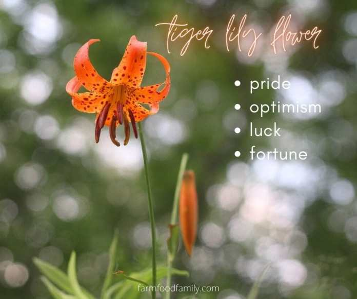 Tiger lily flower meaning
