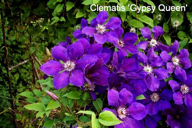 Clematis Gypsy Queen
