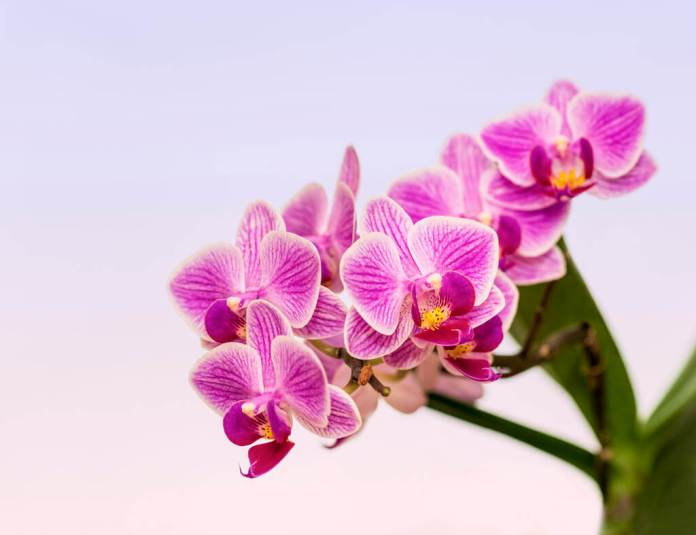 Phalaenopsis Orchids (Moth orchids)
