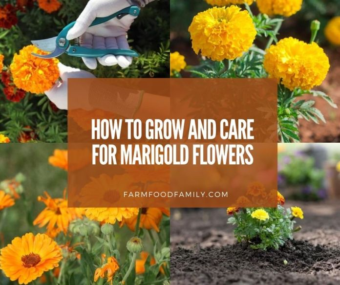 growing and caring for marigold flowers