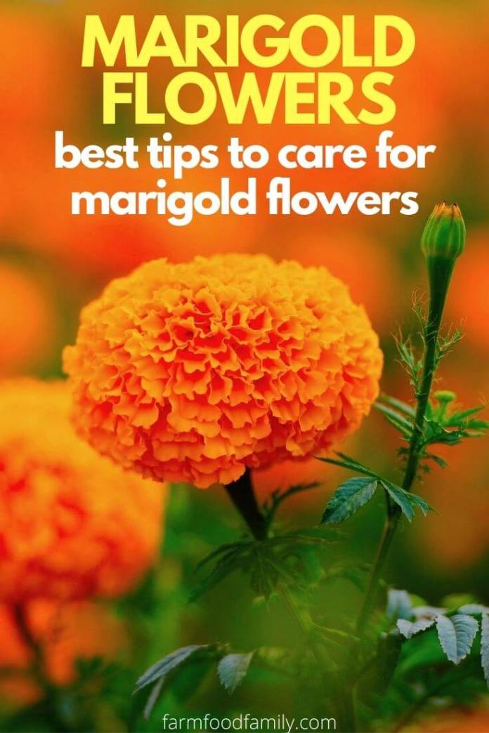 Best tips to care for marigold flowers
