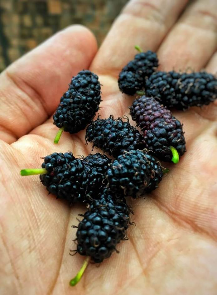 Other Uses of Mulberry