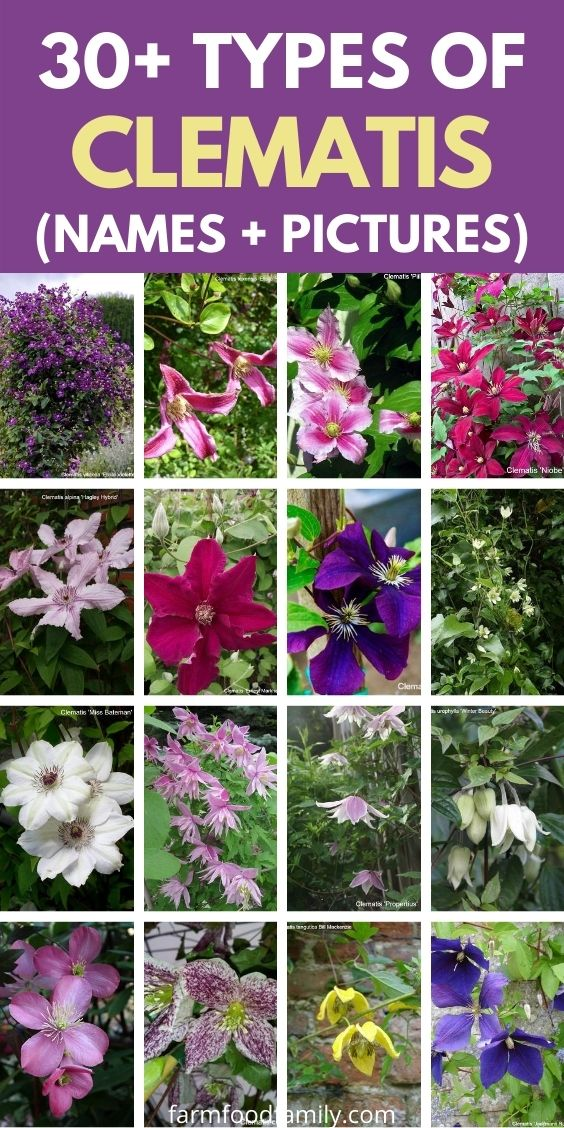 Types of Clematis flowers