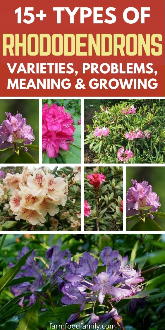 Types of Rhododendrons with pictures