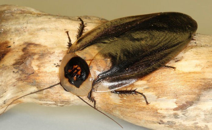 Death Head Cockroach (Blaberus craniifer)