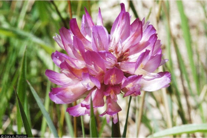 Beckwith's clover (Trifolium beckwithii)