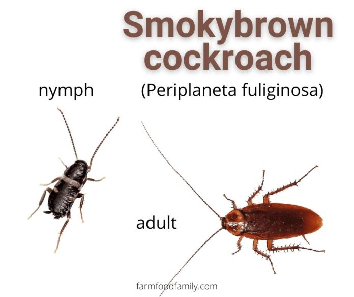 Smokybrown Cockroaches (Periplaneta fuliginosa)