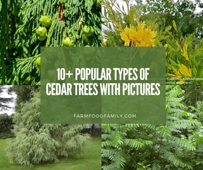 types of cedar trees with pictures