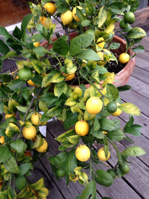 Meyer lemon tree in pots