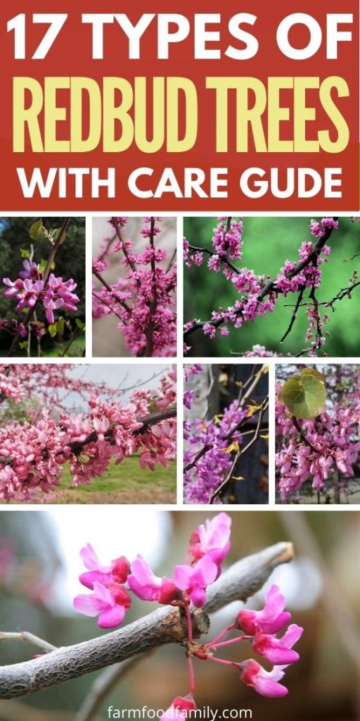 Types of redbud trees with pictures