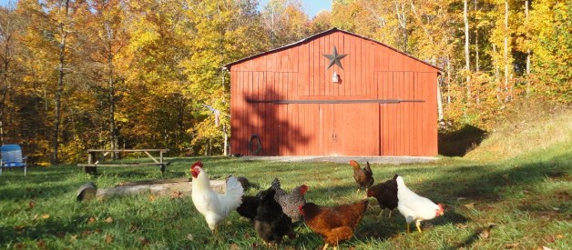Keeping Chickens – The Redneck Way