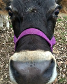 Getting a Family Milk Cow – Part 3