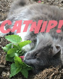 Why You Should Plant CatNip