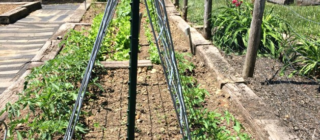 Staking Tomato Plants