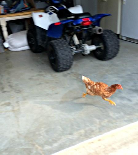 chicken hate 6