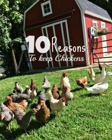10 Reasons Everyone Should Consider Keeping Chickens