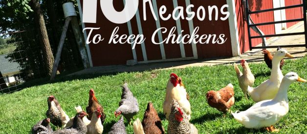 10 Reasons Everyone Should Consider Keeping Chickens