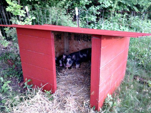 feeder pigs 5