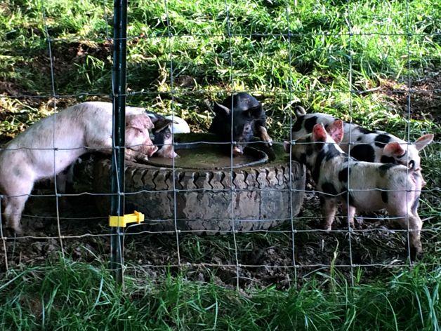 feeder pigs 8