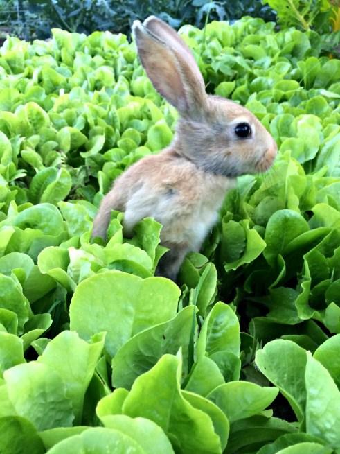rabbit in lettuce 2