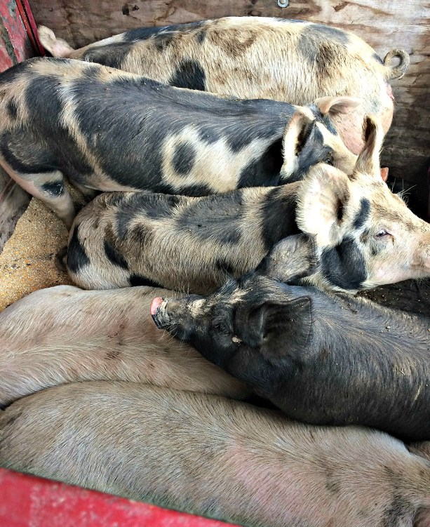 pig move 6