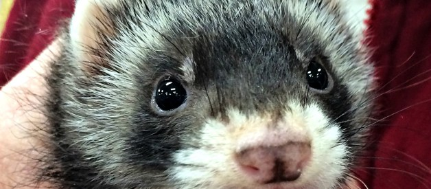Read This Before Buying Your Daughter a Ferret