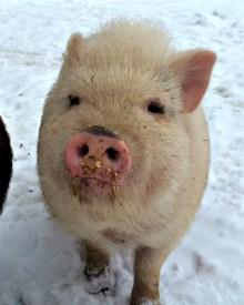 Keeping Pigs in Winter
