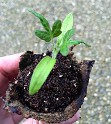 seedling 1.3