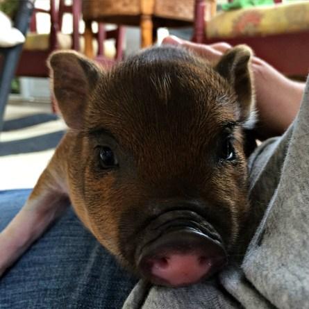 big pig 2