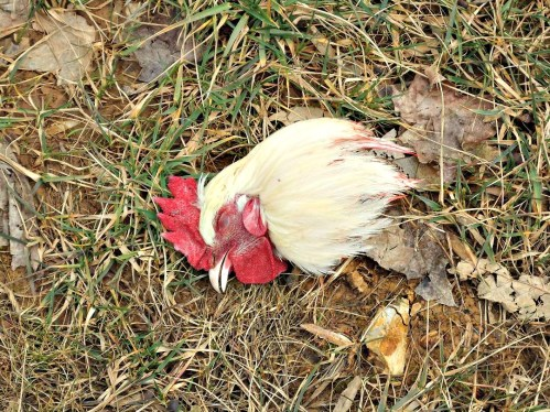 chick kill 20