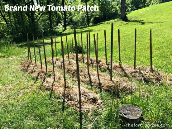 tomato new 1