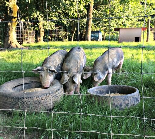 pigs! 12