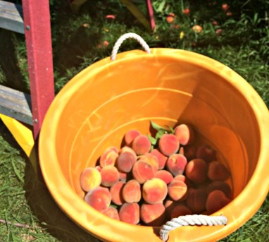 peach tree 3