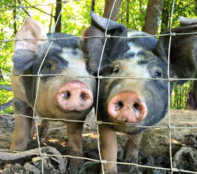 pigs-season-4-7
