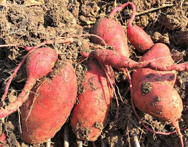 sweet-potatoes-6-7