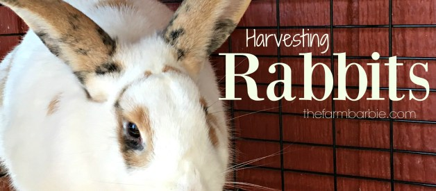 Harvesting Rabbits!!  Look Away!!