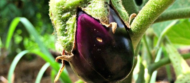 How to Grow Eggplant