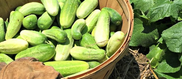 How to Grow LOTS of Cucumbers