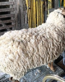 How to Shear Sheep and Why You Must Do It  (Premium)