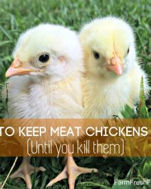 How to Keep Meat Chickens Alive – Until you Kill them