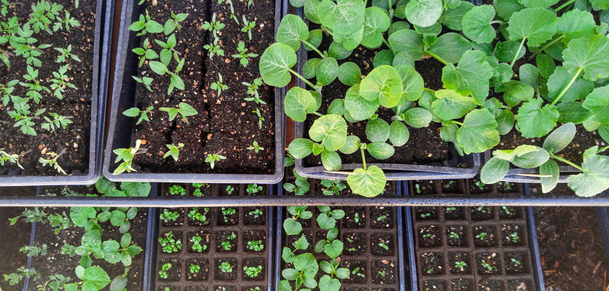 organic seedlings in trays