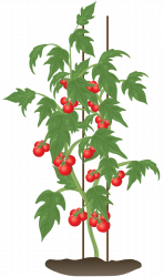 tomato-icon-indeterminate