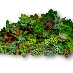 Fat-Plants-San-Diego-45-Gorgeous-All-Rosette-Succulent-Cuttings-0