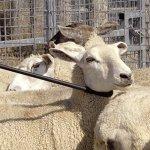 The-Premier-53-Fiberglass-Neck-Crook-for-Sheep-Goats-0-2