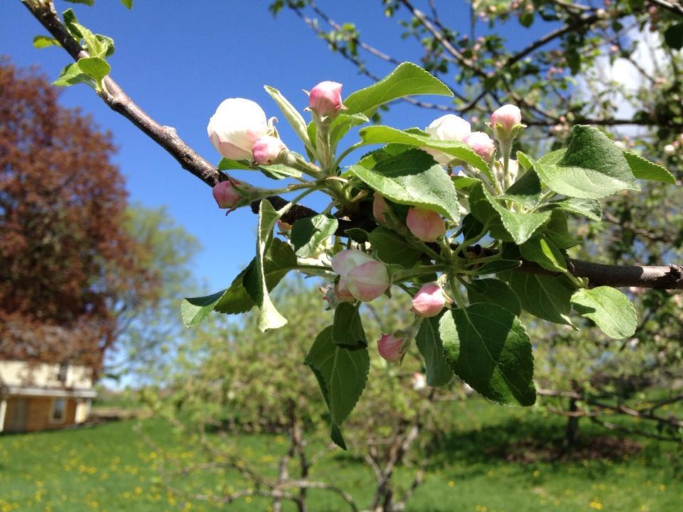 Brown Dog Farm Apple blossom