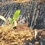 土壌菌ナルナルで畑は元気!春用にキャベツを植えました。