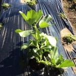 空豆種付けから2ヶ月