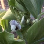 空豆種付けから19週目ー花が咲きましたー